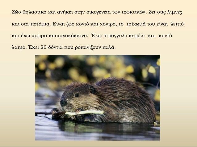 Ζώο θηλαστικό και ανήκει στην οικογένεια των τρωκτικών. Zει στις λίμνες και στα ποτάμια. Eίναι ζώο κοντό και χοντρό, το τρ...