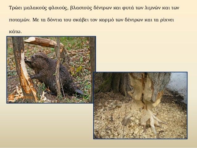 Τρώει μαλακούς φλοιούς, βλαστούς δέντρων και φυτά των λιμνών και των ποταμών. Με τα δόντια του σκάβει τον κορμό των δέντρω...