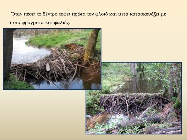 Όταν πέσει το δέντρο τρώει πρώτα τον φλοιό και μετά κατασκευάζει με αυτό φράγματα και φωλιές.
