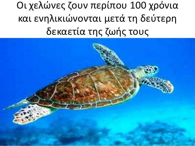 Οι χελώνες ζουν περίπου 100 χρόνια και ενηλικιώνονται μετά τη δεύτερη δεκαετία της ζωής τους