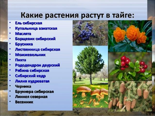 что растет в тайге россии