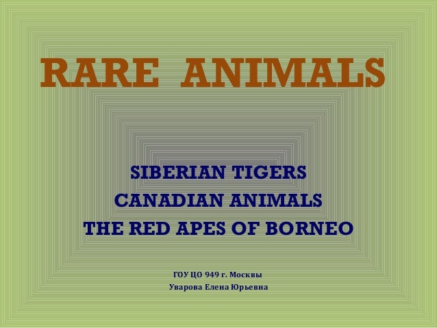 RARE ANIMALS SIBERIAN TIGERS CANADIAN ANIMALS THE RED APES OF BORNEO ГОУ ЦО 949 г. Москвы Уварова Елена Юрьевна