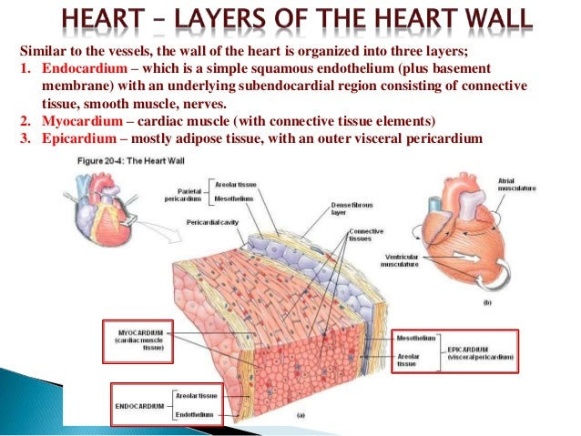 Heart wall layers diagram electrical drawing wiring diagram descripition of heart rh slideshare net veins of the heart diagram layers of the heart ccuart Image collections