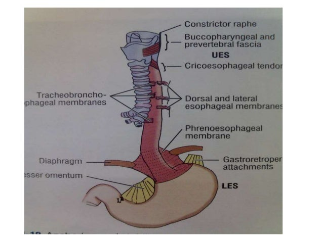 Anatomy of esophagus