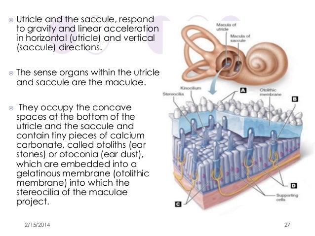 anatomy of inner ear by dr. ravindra daggupati