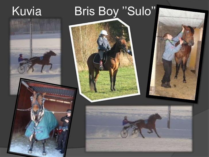KuviaBris Boy ''Sulo''<br />