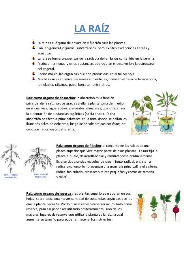 Ra z - Todo sobre las plantas ...