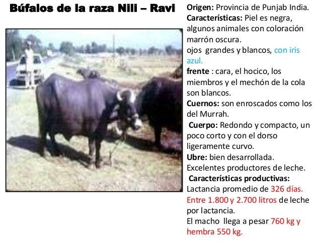 Razas bufalinas en colombia