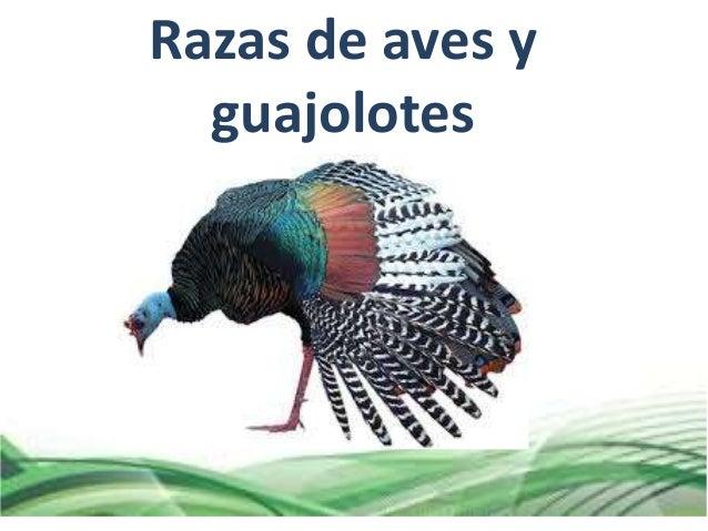Razas De Aves Y Guajolotes