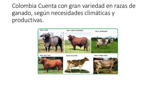 RAZAS DE GANADO EN COLOMBIA EBOOK