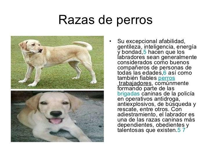 Razas de perros <ul><li>Su excepcional afabilidad, gentileza, inteligencia, energía y bondad, 5 hacen que los labradores ...