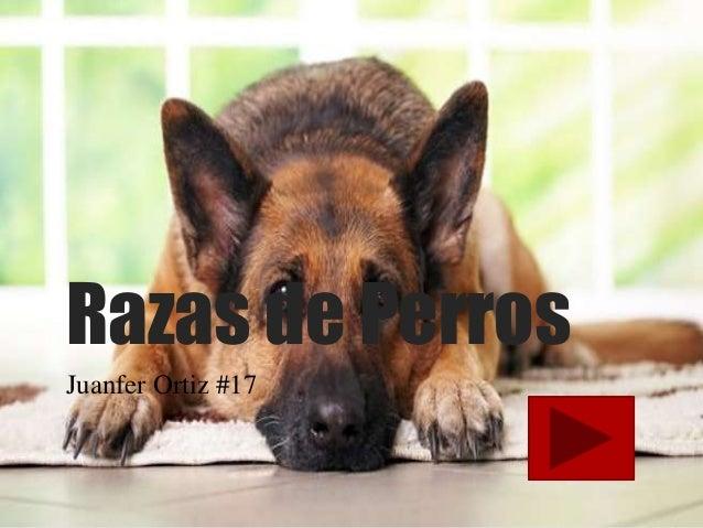 Razas de Perros  Juanfer Ortiz #17