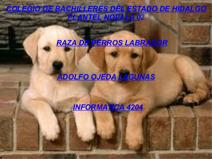 COLEGIO DE BACHILLERES DEL ESTADO DE HIDALGO PLANTEL NOPALA 0 2 RAZA DE PERROS LABRADOR ADOLFO OJEDA LAGUNAS INFORMATICA 4...