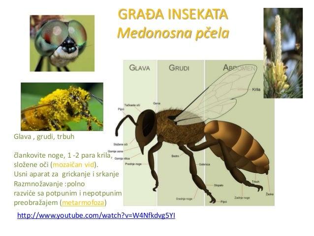 GRAĐA INSEKATA Medonosna pčela  Glava , grudi, trbuh člankovite noge, 1 -2 para krila, složene oči (mozaičan vid). Usni ap...