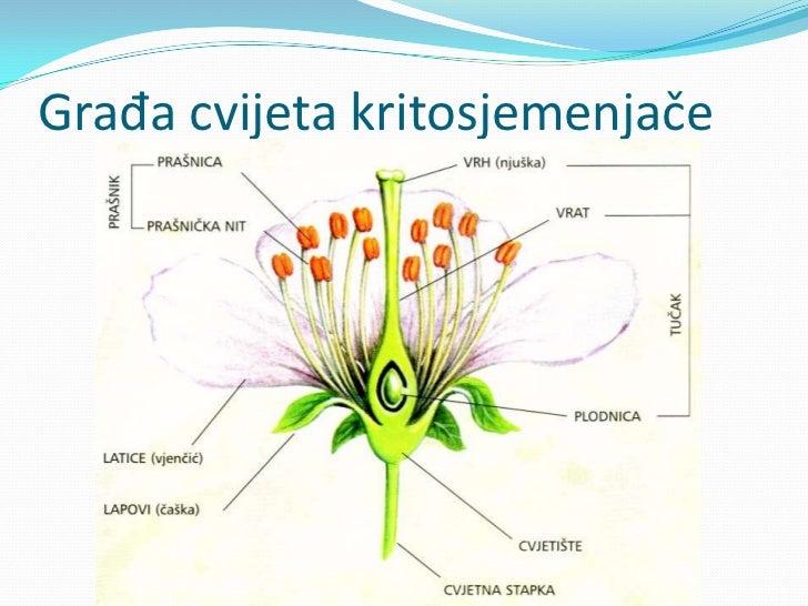 Građa cvijeta kritosjemenjače<br />