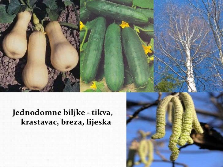 Jednodomne biljke - tikva, krastavac, breza, lijeska<br />