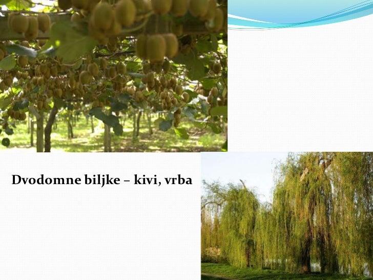 Dvodomne biljke – kivi, vrba<br />