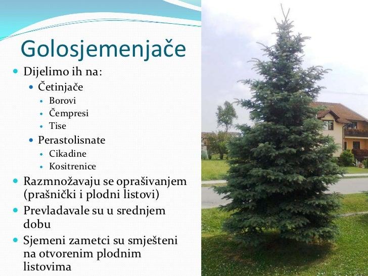 Golosjemenjače<br />Dijelimo ih na:<br />Četinjače<br />Borovi<br />Čempresi<br />Tise<br />Perastolisnate<br />Cikadine<b...