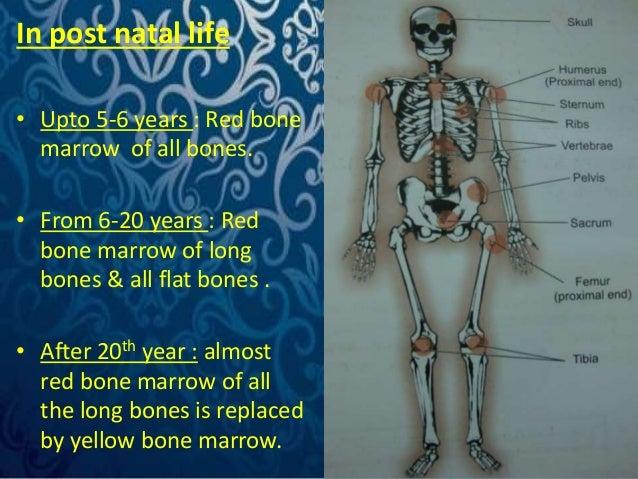 In post natal life  • Upto 5-6 years : Red bone  marrow of all bones.  • From 6-20 years : Red  bone marrow of long  bones...