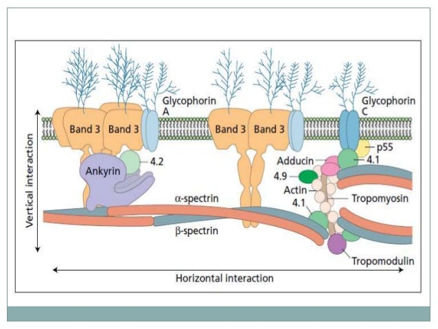 GLYCOLYSIS Importance of glycolysis in red cells:  Energy production: It is the only pathway that supplies the red cells ...