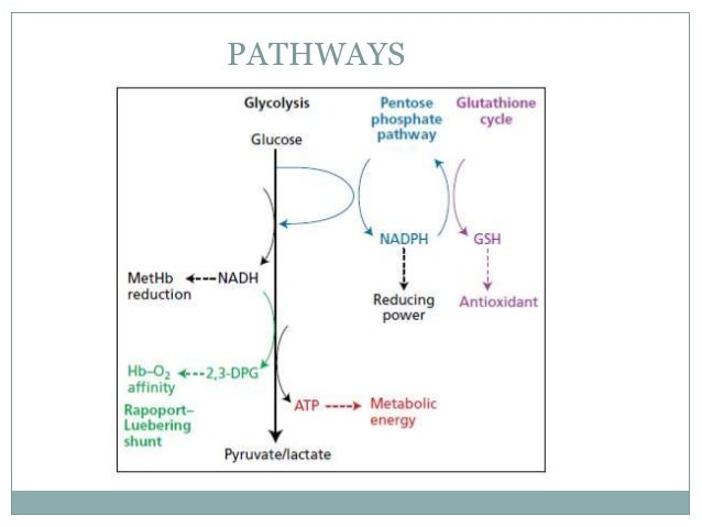 Rbc structure and metabolism
