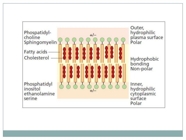  Asymmetric phospholipids distribution is maintained by: –Differential rate of diffusion through membrane bilayer of chol...