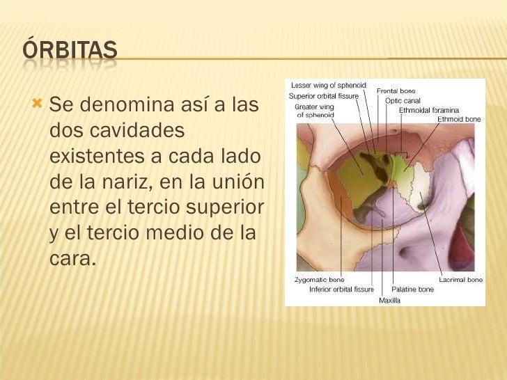 <ul><li>Se denomina así a las dos cavidades existentes a cada lado de la nariz, en la unión entre el tercio superior y el ...