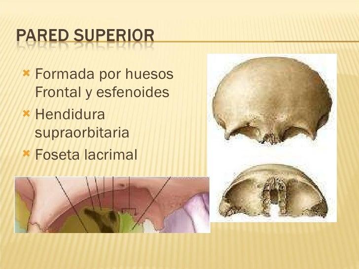 <ul><li>Formada por huesos Frontal y esfenoides </li></ul><ul><li>Hendidura supraorbitaria </li></ul><ul><li>Foseta lacrim...