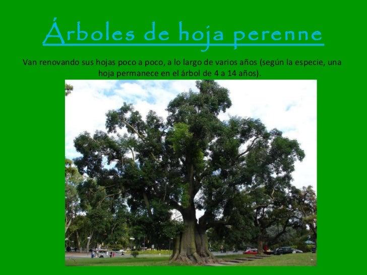 Rboles for Arboles frutales de hoja perenne