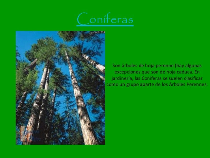 Rboles for Arboles ornamentales de hoja perenne
