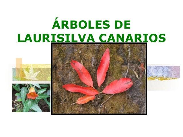 ÁRBOLES DELAURISILVA CANARIOS