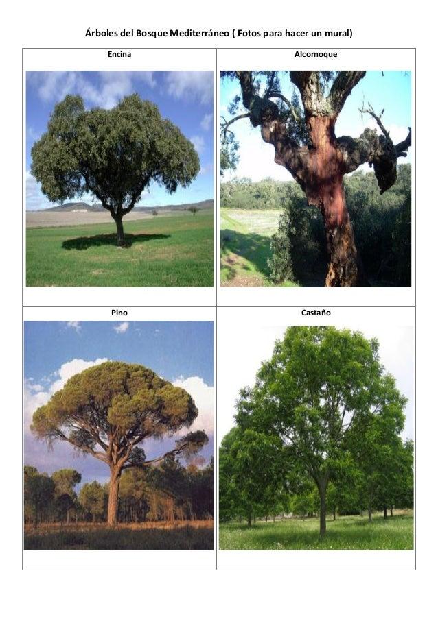 rboles del bosque mediterrneo fotos para hacer un mural encina alcornoque pino castao