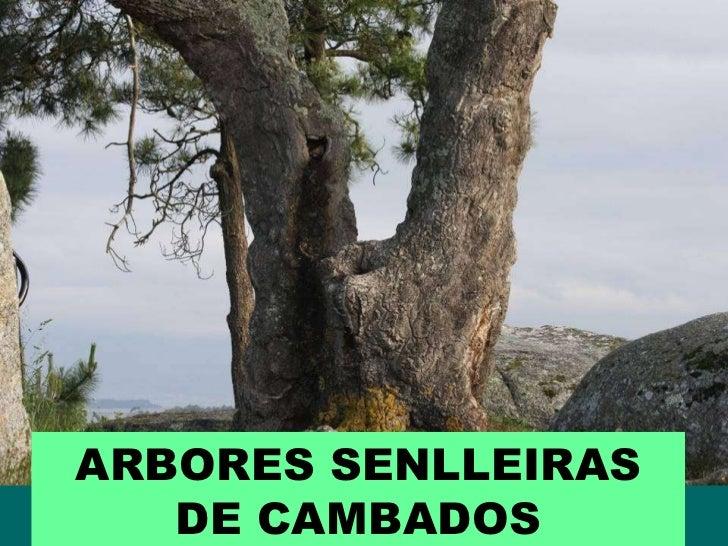 ARBORES SENLLEIRAS DE CAMBADOS