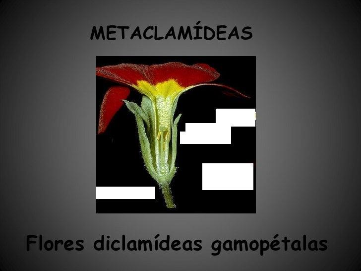 METACLAMÍDEAS Flores diclamídeas gamopétalas