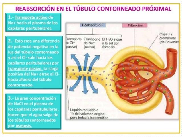 Reabsorción en el túbulo contorneado proximal