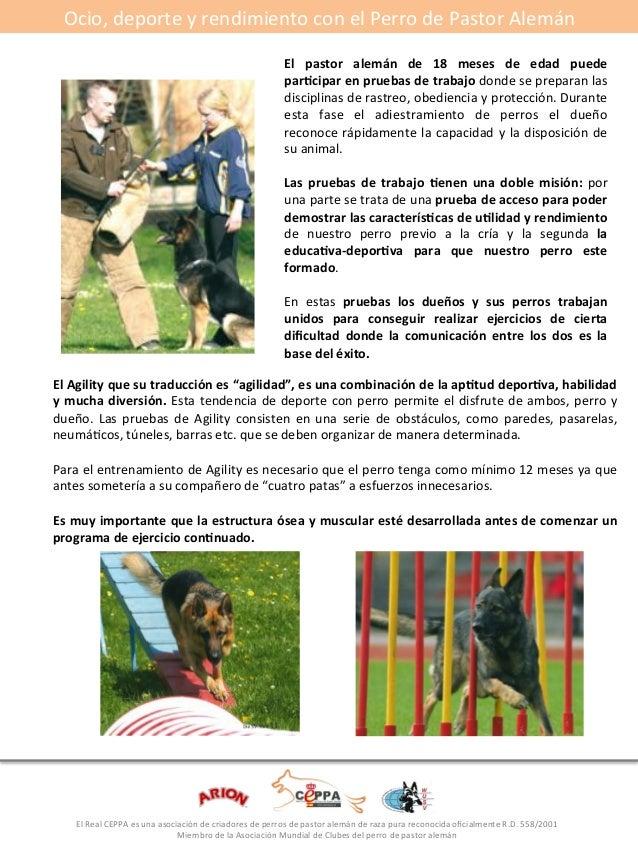 Ocio,#deporte#y#rendimiento#con#el#Perro#de#Pastor#Alemán#  #  El* pastor* alemán* de* 18* meses* de* edad* puede*  par5ci...