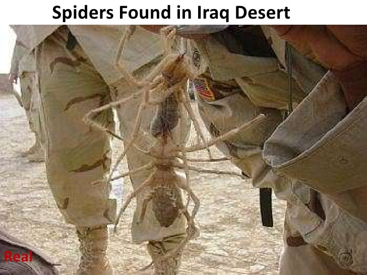 Spiders Found in Iraq Desert<br />Real<br />