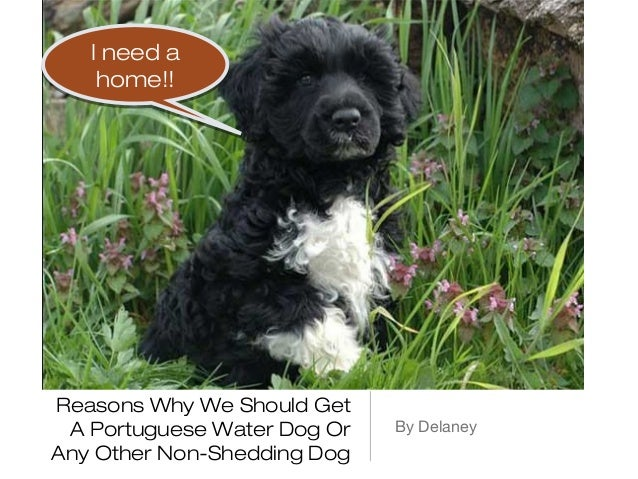 I need a    home!!Reasons Why We Should Get A Portuguese Water Dog Or   By DelaneyAny Other Non-Shedding Dog