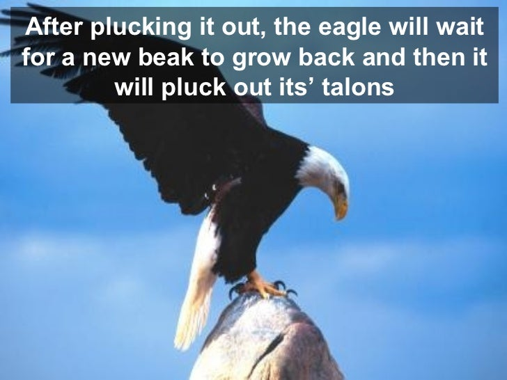 After plucking it out, the eagle will wait for a new beak to grow back and then it will pluck out its' talons