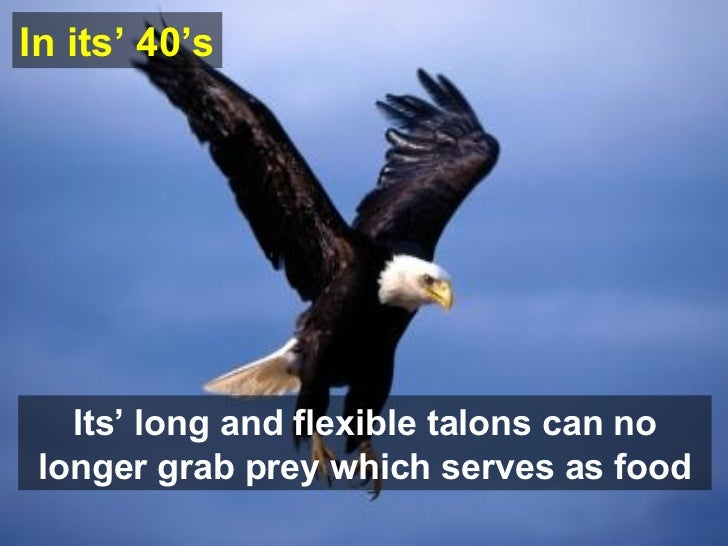Its' long and flexible talons can no longer grab prey which serves as food In  its'  40's