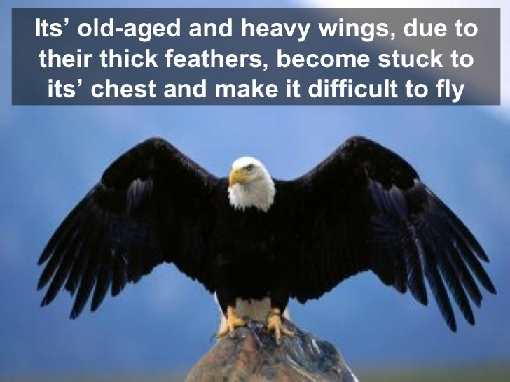 Its' old-aged and heavy wings, due to their thick feathers, become stuck to its' chest and make it difficult to fly