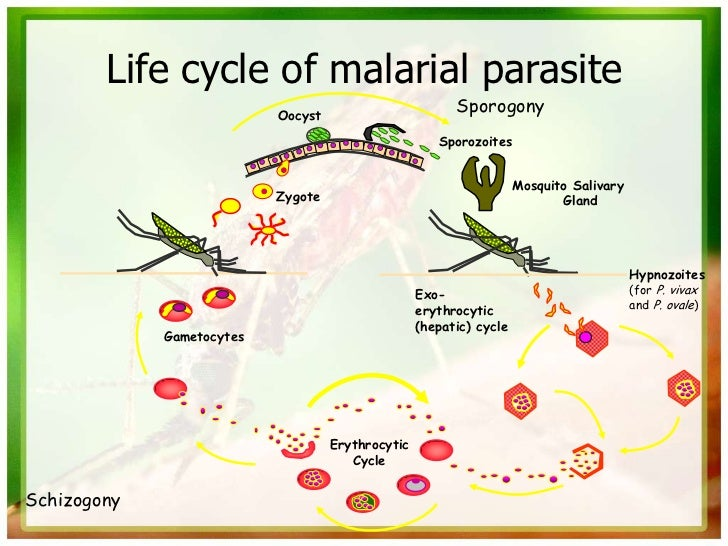 life cycle of plasmodium falciparum biology essay Malaria is a life-threatening mosquito-borne  duration of plasmodium falciparum infections malaria  cite this article in your essay, paper or.