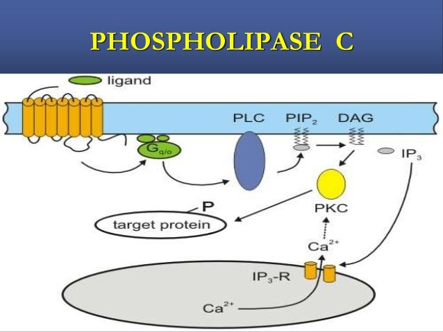KINASE LINKED RECEPTORS  Mediate the actions of wide variety of proteins mediators including growth factors, cytokines & ...