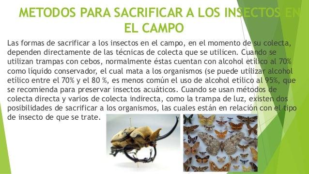 La forma más utilizada para sacrificar a los insectos de cuerpo duro, cuyas estructuras no son tan blandas o no se usan en...