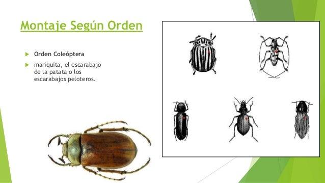 Orden Himenóptera  es uno de los mayores órdenes de insectos, con unas 200.000 especies, y comprende a las hormigas, abej...