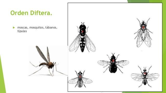 Orden Lepidóptera.  casi siempre voladores, conocidos comúnmente comomariposas