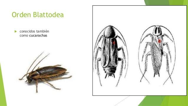 Orden Ortóptera.  Pertenecen a este orden los saltamontes, grillos,langos tas, y el alacrán cebollero.