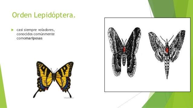 Orden Phasmatodea.  conocidos comúnmente como insectos palo einsectos hoja, mata caballo (Colombia), palote (Chile ), mar...