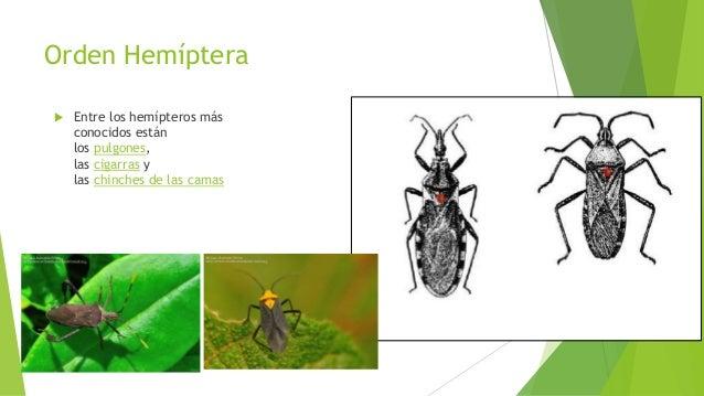 Orden Manthodea.  comúnmente conocidos como mantis, mamboretás,santa teresas, rezadoras o campamoc has.