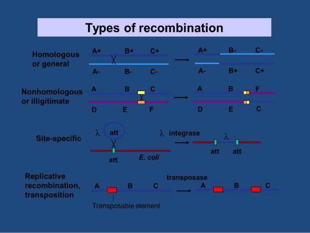 HOMOLOGOUS RECOMBINATION • It is a physical phenomenon where exchange of sequence occur with no net gain or loss of nucleo...